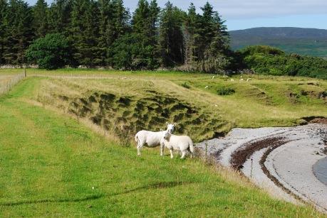 following_sheep_raasay2